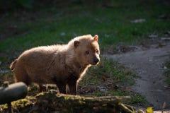 Venaticus Speothos собаки куста canid найденное в централи и Южной Америке стоковые фото