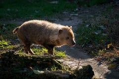 Venaticus Speothos собаки куста canid найденное в централи и Южной Америке стоковые изображения rf