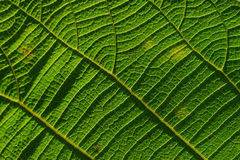 Venation. Closeup of a leaf venation Stock Image