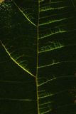 Venation. Closeup of a leaf venation Royalty Free Stock Images