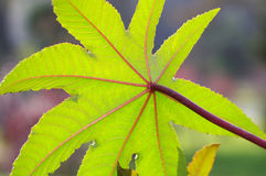 Venation clearly leaves. ,The leaves of photographing Royalty Free Stock Image