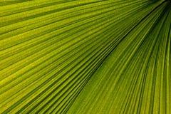 Venation di foglia di palma Fotografie Stock Libere da Diritti