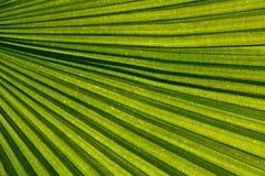 Venation di foglia di palma Fotografia Stock