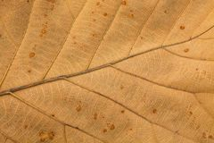 Venation patterns of dry leaf. Venation patterns in the blade of the dry leaf with the brown plant rusts disease Stock Photos