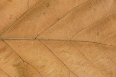 Venation patterns of dry leaf. Venation patterns in the blade of the dry leaf with the brown plant rusts disease Stock Photography