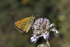 Venatus Ochlodes, sylvanus Ochlodes, μεγάλη πεταλούδα πλοιάρχων Στοκ Εικόνες