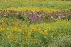 Venda púrpura entre Ragweed Foto de archivo libre de regalías