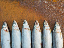 Vendace fishes on the rusty iron sheet Stock Photos