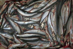 Vendace fisk arkivbild