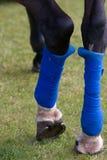 Vendajes azules de la pierna del caballo Imagen de archivo libre de regalías