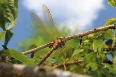 Vendedor ambulante Dragonfly de Brown Imagens de Stock
