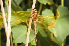 Vendedor ambulante Dragonfly de Brown Imágenes de archivo libres de regalías