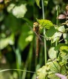 Vendedor ambulante Dragonfly de Brown fotos de stock