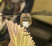 Vendedor ambulante migratorio Dragonfly Foto de archivo libre de regalías