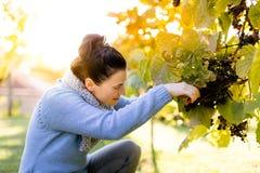 Vendemmiatore all'uva di raccolto del lavoro Fotografia Stock
