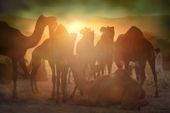 Vendeurs de chameau de la ville de Pushkar, Pushkar Mela photo stock