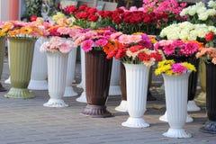 Vendita del crisantemo Fotografie Stock