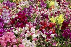 Vendita delle piantine delle bocche di leone multicolori dei fiori immagini stock