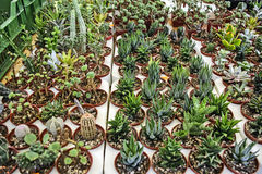 Vendita di mini cactus Immagine Stock