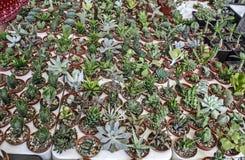 Vendita di mini cactus Fotografia Stock