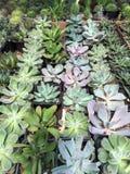 Vendita robusta e convenzionale dei succulenti Immagini Stock Libere da Diritti