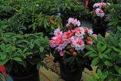 Vendite del fiore del rododendro immagine stock