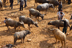 Vendite di esercenti vietnamite e comprare del bufalo d'acqua Fotografia Stock