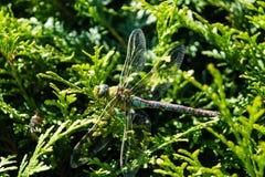 Venditore ambulante marrone della libellula Fotografie Stock Libere da Diritti