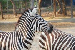 Vendo a zebra das listras imagens de stock royalty free
