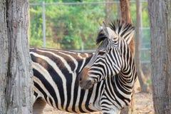 Vendo a zebra das listras imagens de stock