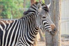 Vendo a zebra das listras fotografia de stock royalty free