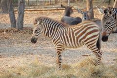 Vendo a zebra das listras fotos de stock