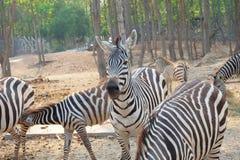 Vendo a zebra das listras fotos de stock royalty free