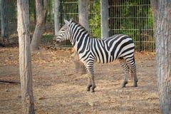 Vendo a zebra das listras imagem de stock