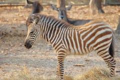 Vendo a zebra das listras imagem de stock royalty free
