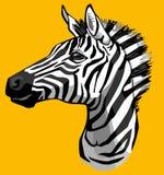 Vendo a zebra das listras Foto de Stock