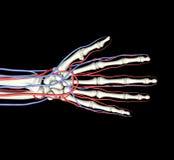 Vene delle arterie delle ossa di mano Fotografie Stock