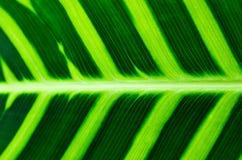 Vene tropicali del foglio Fotografie Stock