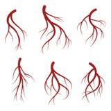 Vene umane, illustrazione medica di vettore realistico dei vasi sanguigni rosso sangui illustrazione di stock