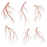 Vene umane, illustrazione medica di vettore realistico dei vasi sanguigni rosso sangui royalty illustrazione gratis
