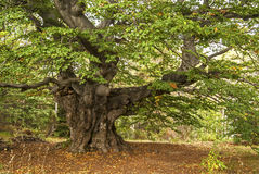 Venerable beech tree Royalty Free Stock Photography