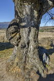 Venerable birch tree with interesting trung in the Plana mountain Royalty Free Stock Image