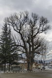 Venerable poplar or populus  tree in winter center village Pasarel, Bulgaria Royalty Free Stock Photos
