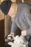 Venerable sheep shearer using hand tools in a Connecticut barn. Experienced, professional  sheep shearer manually  shearing a ewe with steel bladed shears at a royalty free stock image