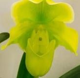 Venere dorato di Miaohua del Paphiopedilum Fotografia Stock