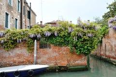 Venetië, Italië - wistaria bloeit op een muur in een Venetiaans kanaal Stock Afbeelding
