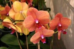 Venetiaanse perzik Phalaenopsis, Phalaenopsis 'Perzikverrukking' Stock Afbeeldingen