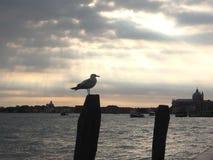 Venetiaanse zeemeeuw bij neer Stock Foto