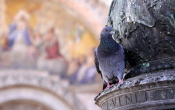 Venetian Pigeon Stock Photos