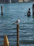 Venetian seagull Royaltyfri Fotografi